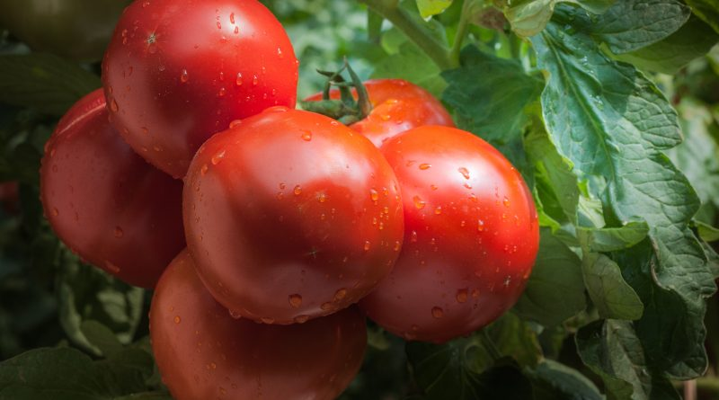 La Tomate, une formidable arme anti-cancer