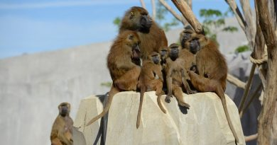 Le zoo de Vincennes fermé au public après la fugue de cinquante babouins, va rouvrir