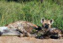 La hyène tachetée, espèce qu'on croyait disparue au Gabon