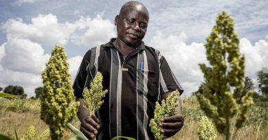 L'Éthiopie lance une variété de sorgho pérenne