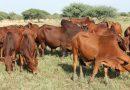 Le Niger recourt aux biotechnologies pour relancer la filière bovine