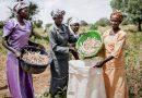 Du niébé amélioré pour les petits exploitants ghanéens