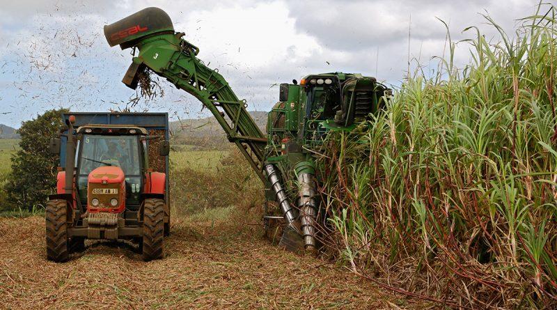 A l'île Maurice, la canne à sucre pour faire de l'électricité