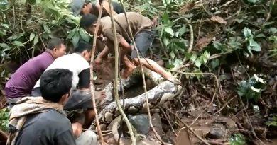 Des villageois indonésiens capturent un python géant de 8 mètres
