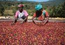 FAIRE REVIVRE LA CULTURE DU CAFÉ AU ZIMBABWE PAR LE BIAIS DE L'ÉDUCATION