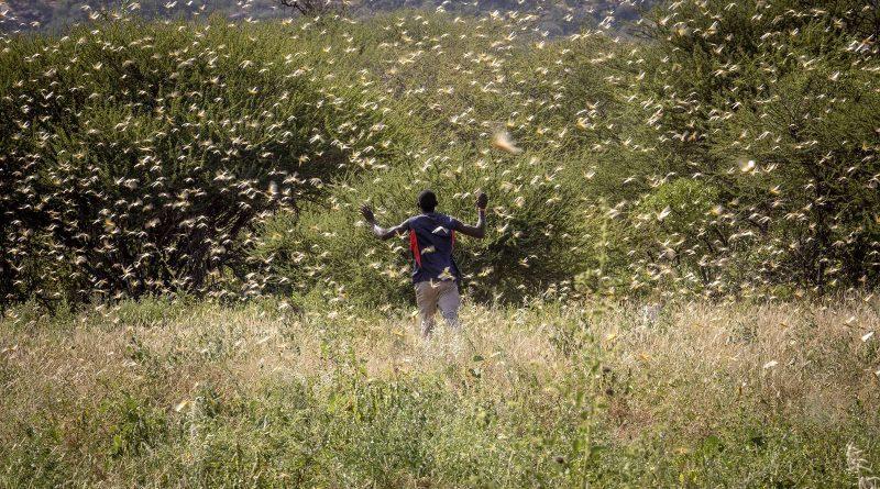 L'AFRIQUE DE L'EST TENTE DE LUTTER CONTRE UNE SPECTACULAIRE INVASION DE CRIQUETS