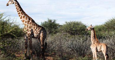 DÉCOUVERTE DE GIRAFES NAINES EN OUGANDA ET EN NAMIBIE