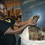 NIGERIA: SAISIE DE 8,8 TONNES D'ÉCAILLES DE PANGOLIN ET D'IVOIRE