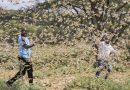 DANS LE CIEL DU KENYA, L'INLASSABLE CHASSE AUX CRIQUETS PÉLERINS