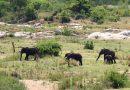 Mort d'un braconnier présumé piétiné par des éléphants en Afrique du Sud